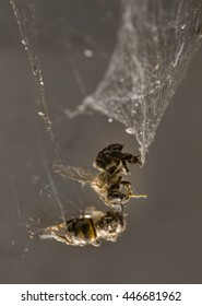 Two dead honey bees trapped  in a spiders web