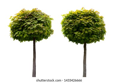 two decorative fresh maple trees isolated on white background