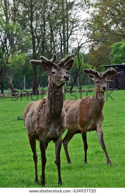two deer with antlers