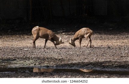 two deer fighting to establish hierarchies