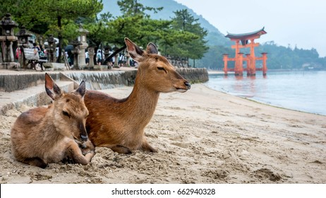 Two deer sitting on a shore on Miyajima island in Japan
