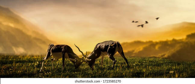 two deer stags fighting on grassland background sunset scenery.