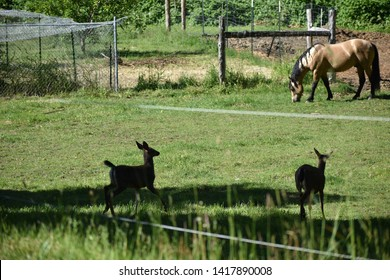 Two Deer Visit Stallion in Pasture