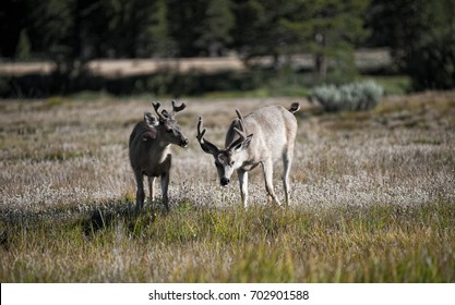 Two deer in the wild