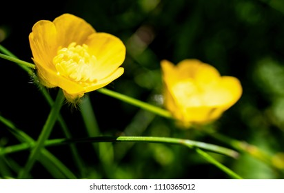 Two delicate creeping buttercup flowers