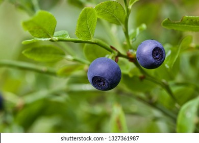 Two delicious huckleberry fruits (flora of Western Siberia).