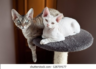 Two devon rex cats are sitting on the scratching post. Cats family - mother cat and her kitten. Happy pets. Indoor cats portrait