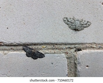 Two different color moths (small dusty wave) sitting on brick wall and illustrating a natural selection principle.