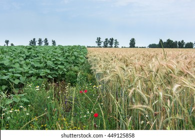 Two different cultures, wheat and sunflowers, hope for the same food every day. Biodiversity in crops in rural areas.
