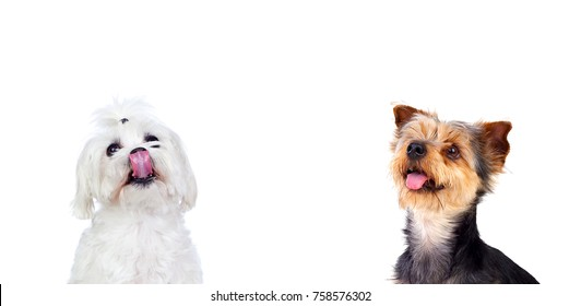 Two different dogs looking up isolated on a white background