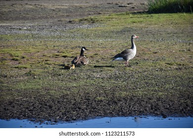 Two different kinds of geese, Canadian Goose and Greylag Goose, with chicks at the swedish island Oland