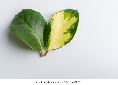 Two different leaves of the one tree together. The concept of genetic mutation, skin pigmentation and vitiligo problem. Nature diversity of types.