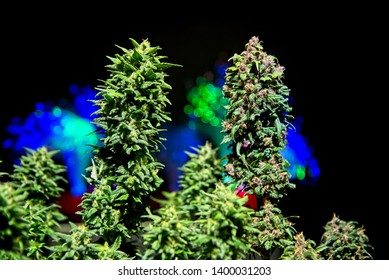 Two different phenotypes - purple and green - of same strain cannabis plant side by side on dark background with out of focus colorful lights