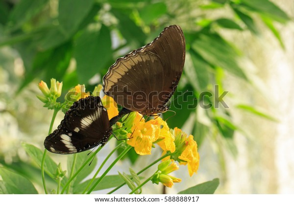 Two different species of Butterflies feeding from a yellow Flower Head
