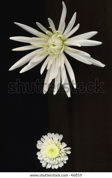 Two different types of Chrysanthemum flowers