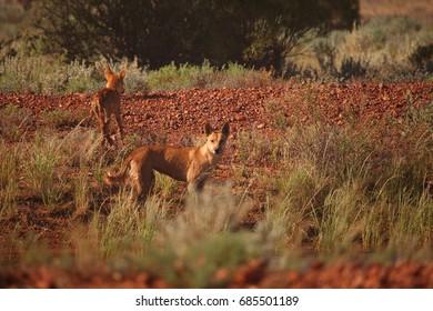 Two dingos in outback Australia.