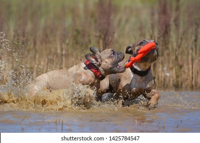 Two dirty brown French Bulldog dogs playing fetch with a toy together in muddy puddle