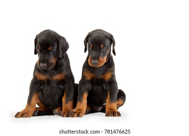 Two doberman puppies isolated on white.
