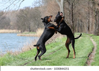 Two dobermans dogs