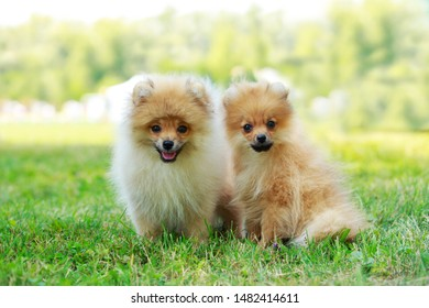 Two dog breed miniature spitz on green grass