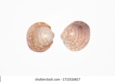 Two dog cockle or European bittersweet shells, Glycymeris glycymeri. Photo taken in studio on white background.