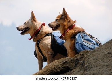 Two dogs with backpacks paused while hiking on a mountain trail.