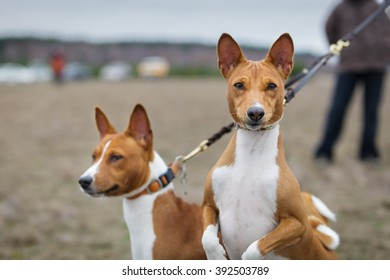 Two dogs basenji on a leash dogs. Portrait. Early spring
