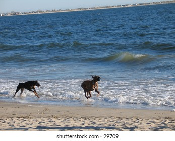 Two dogs at the beach, chasign each other