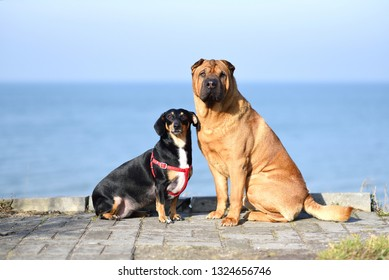 Two dogs, a big red-haired Shar-Pei and a small black metis dachshund, sit side by side on the coast and look to one side.