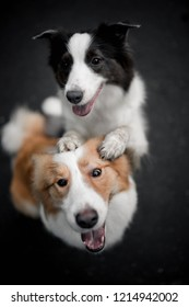 Two dogs black and red border collies hug each other