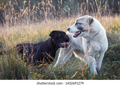 Two dogs, black and white play friendly in the meadow