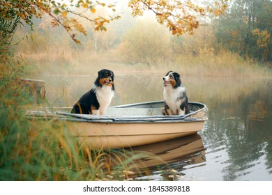 two dogs in a boat, autumn mood. Tricolor australian shepherd in nature