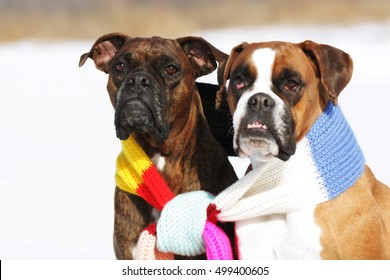 two dogs of breed boxer sitting in the winter on snow, associated with one scarf in bright stripes. The concept of romance and love.