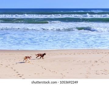 Two dogs breed of irish setter go fun run along the sandy shore of the Atlantic ocean in Portugal coast.