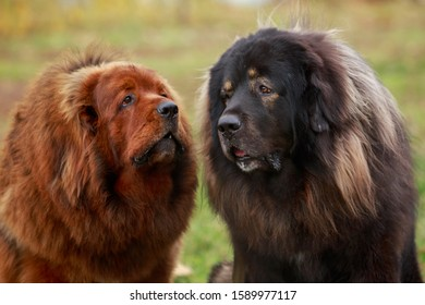Two dogs breed Tibetan Mastiff a close-up