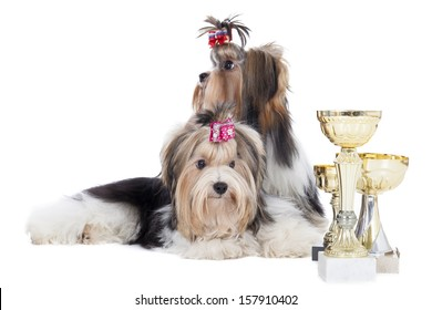 Two dogs of breed Yorkshire terrier with cups on a white background in studio