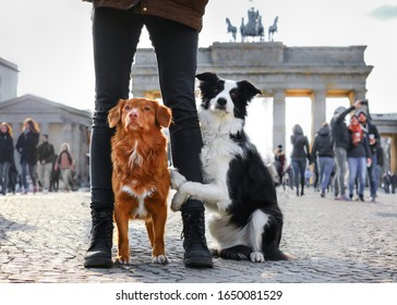 Two dogs by the Brandenburg Gate in Berlin. Traveling, sightseeing, adventures with dog. Border collie and nova scotia duck tolling retriever