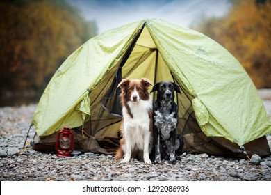 Two dogs are camping in a tent. Mixed breed dog and border collie on adventure. Active dogs in nature.