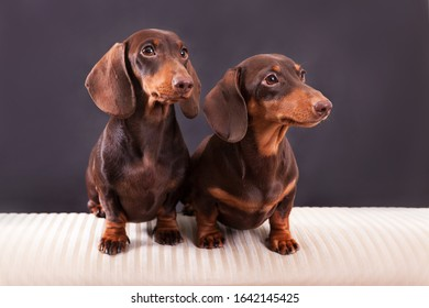 Two dogs chocolate dachshunds sit on the sir a background in studio.
