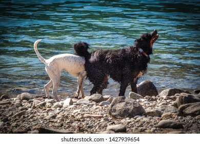 Two dogs collide on the beach.
