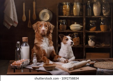 two dogs are cooking in the kitchen. Pet at home. Nova Scotia Duck Tolling Retriever, Toller. Jack Russell Terrier
