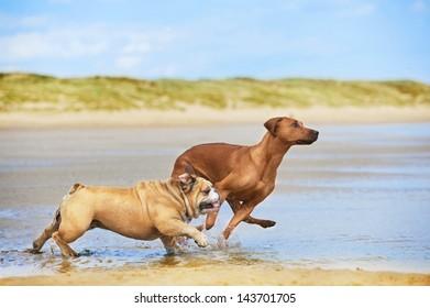 Two dogs english bulldog and rhodesian ridgeback dog running at the beach sea