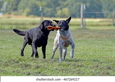 Two dogs fight for a Frisbee
