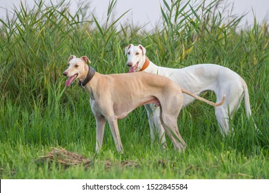 Two dogs greyhound sighthound white pose