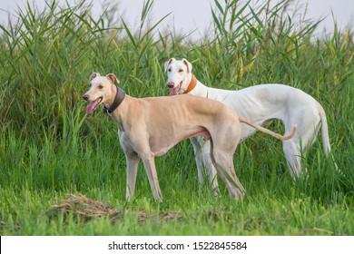 Two dogs greyhound sighthound white pose