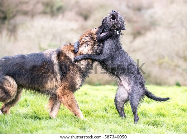 Two dogs having fun play fighting together for fun outside in a field