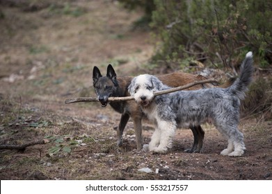 Two dogs holding a stick together. They are true friends with a teamwork.
