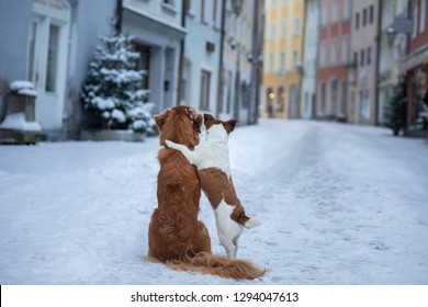 two dogs hug each other and look at the street of a small town. Pet in the city, walk, trip. Nova Scotia Duck Tolling Retriever and a Jack Russell Terrier