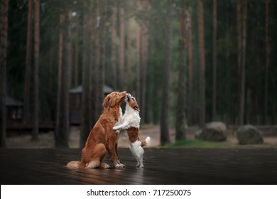 two dogs kiss each other, tender. Jack Russell Terrier  and a Nova Scotia Duck Tolling Retriever