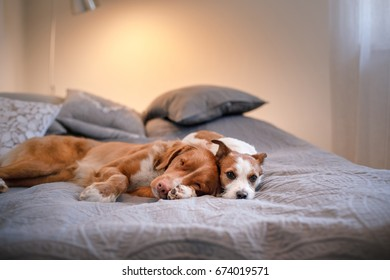 Two dogs are large and small. Nova Scotia Duck Tolling Retriever and Jack Russell Terrier  lie in bed in the bedroom, home and comfortable, sleep, and cute dogs resting